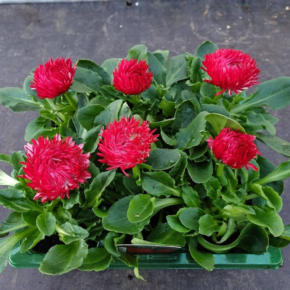Bellis Red