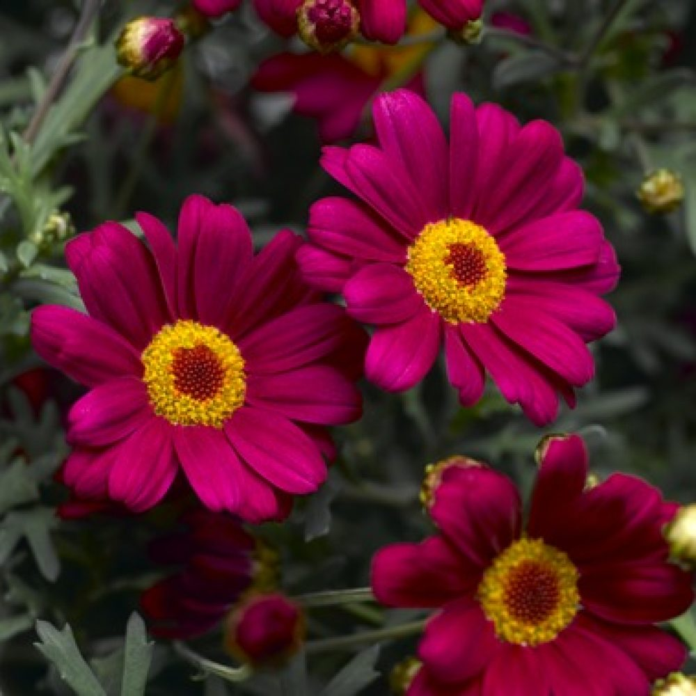 Agryanthemum red