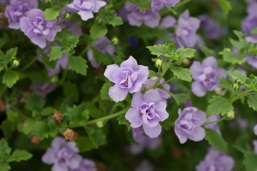 Bacopa Double Lavender