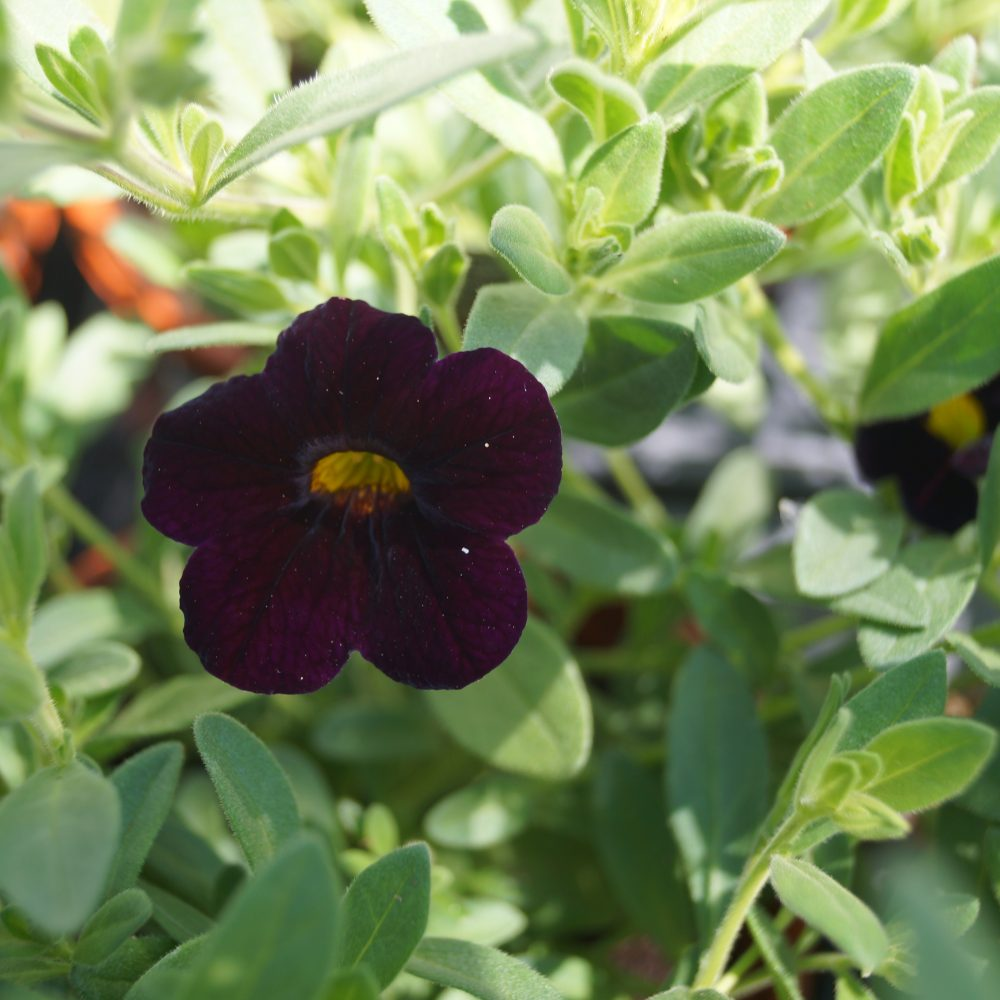 Calibrachoa blackcherry