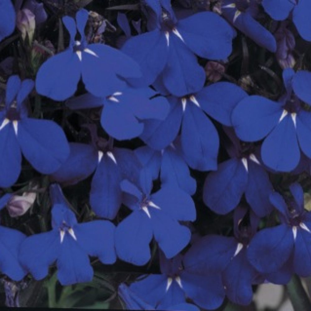 Lobelia Midnight