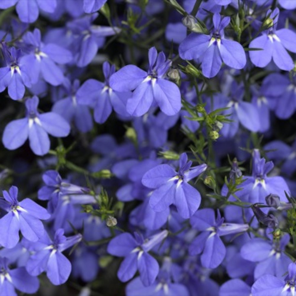 Lobelia Trailing Blue