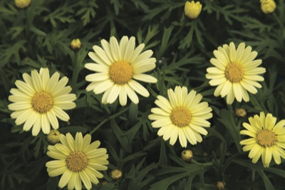 Agryanthemum Daisy Crazy Summit Yellow' Pastel yellow saucer-shaped flowers over finely cut green foliage. Ideal for bedding and patio containers.
