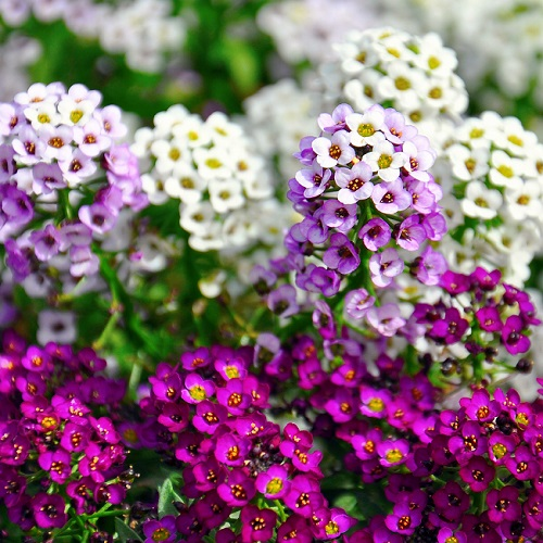 alyssum mixed