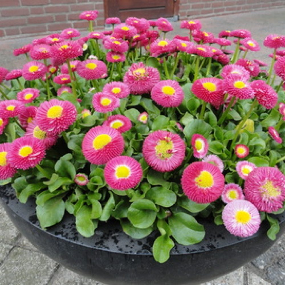 bellis rose 1