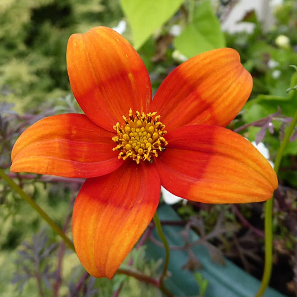 bidens hawaiian orange drop
