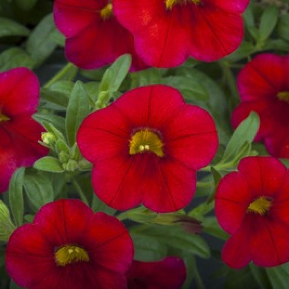 calibrachoa Bright red