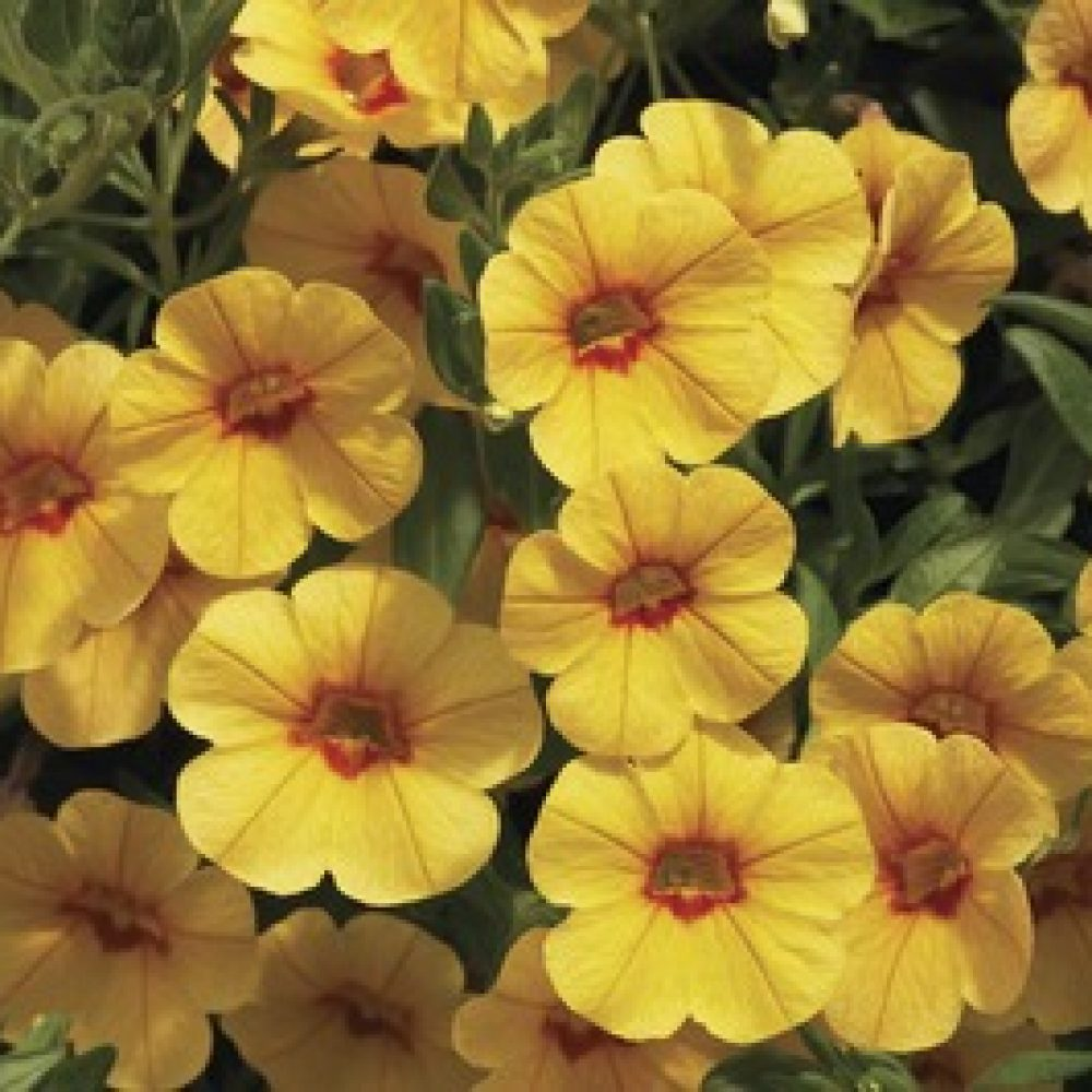 calibrachoa gold with red eye