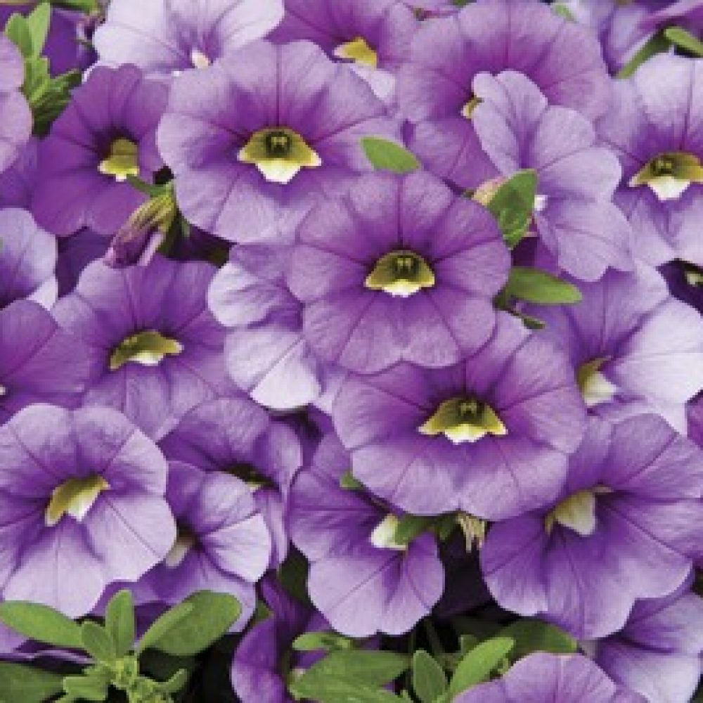 calibrachoa light blue