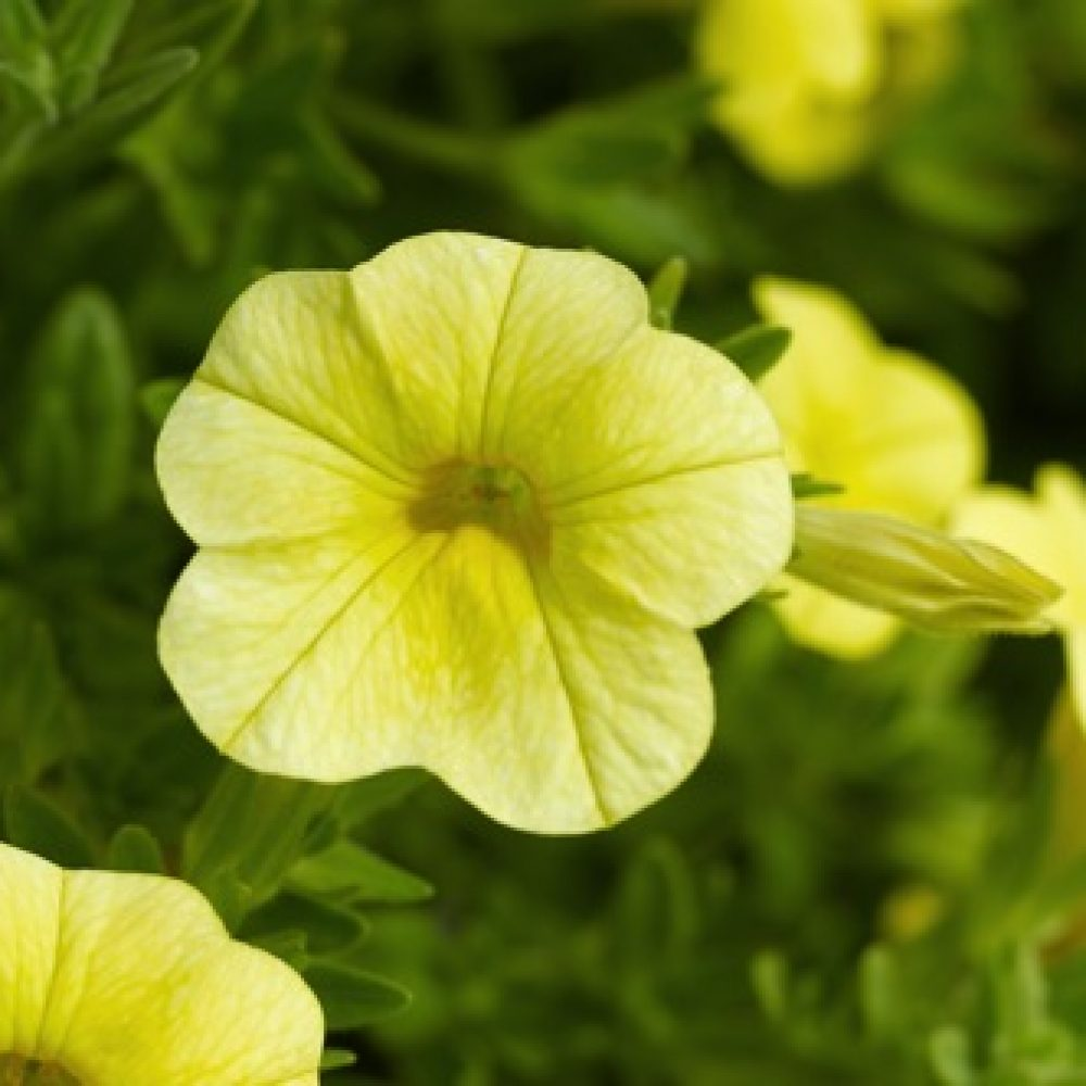 Calibrachoa Deep Yellow- 10cm These colourful plants form an excellent trailing habit. Ideal for your hanging baskets and garden containers.