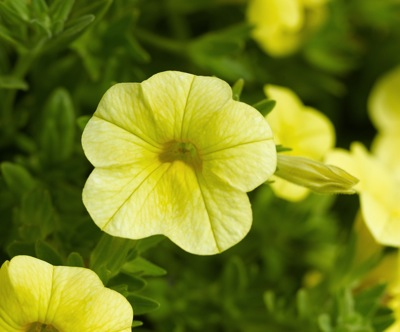 v=Calibrachoa Deep Yellow- 10cm These colourful plants form an excellent trailing habit. Ideal for your hanging baskets and garden containers.