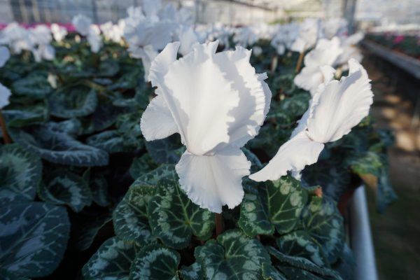 Frilly Cyclamen