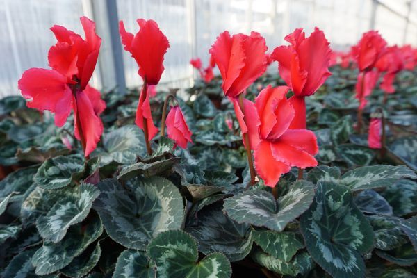 Frilly Red Cyclamen