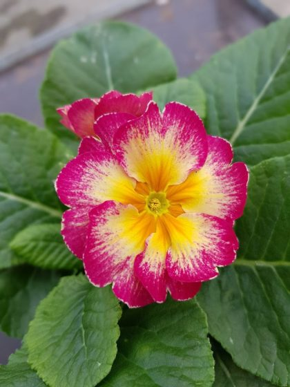 Polyanthus showstopper Calypso 1