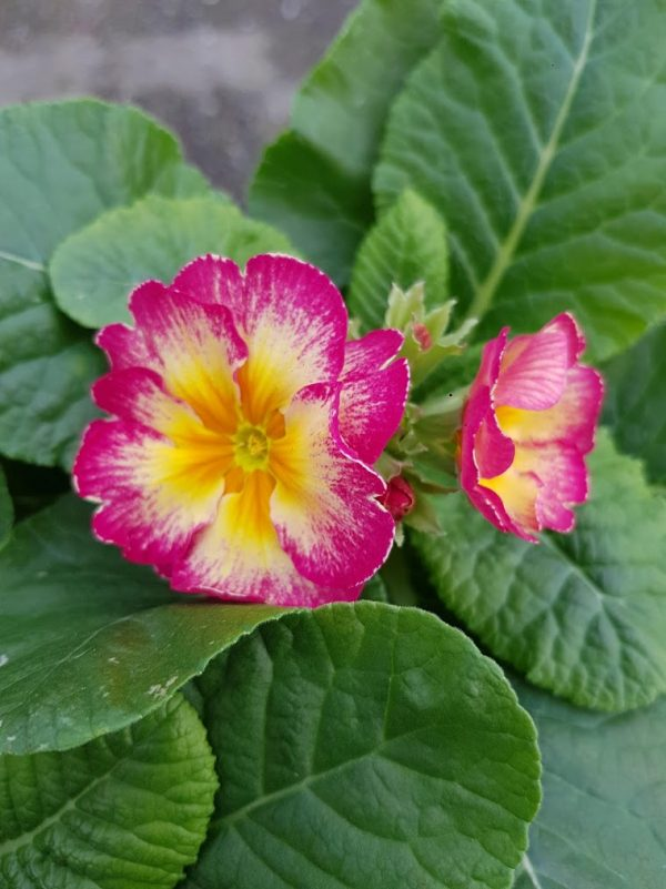 Polyanthus showstopper Calypso
