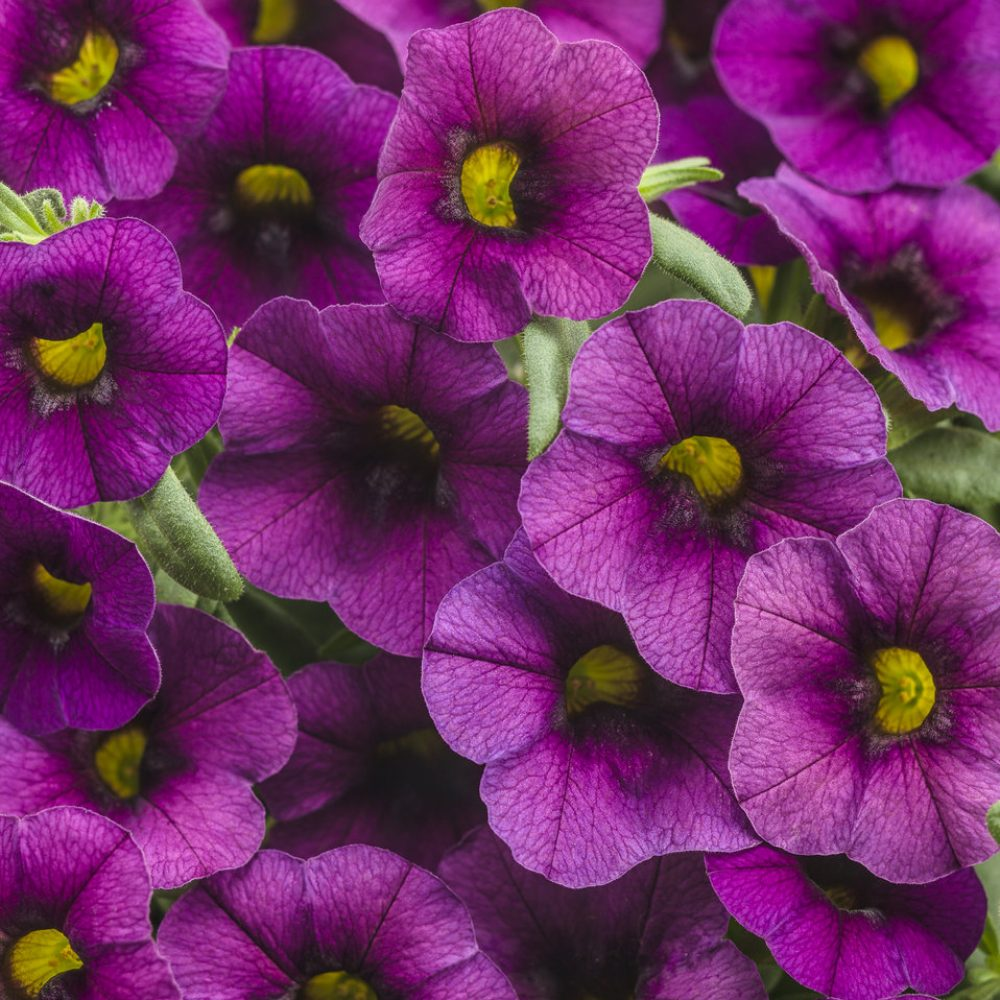 Calibrachoa Hummingbird Plum-