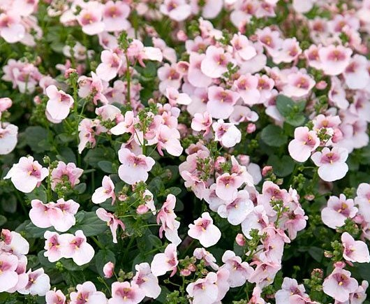 Diascia pink with eye