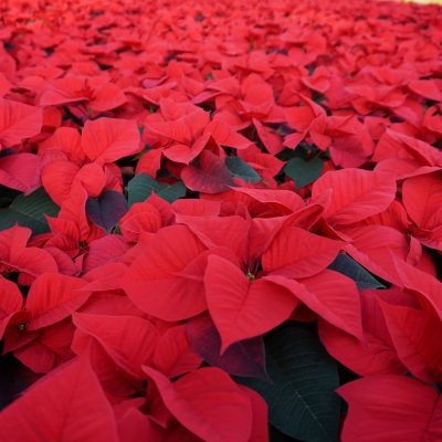 Poinsettia Colours
