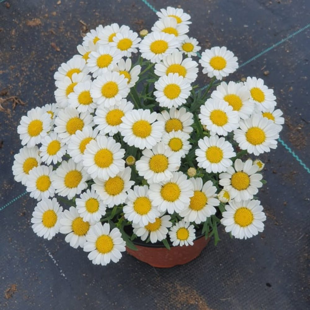 Agryanthemum White