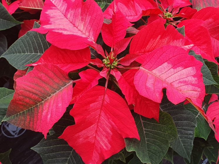 Poinsettia Ice Punch 1