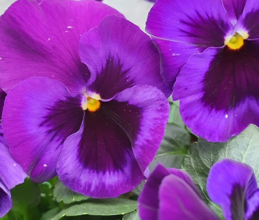 Neon Violet Pansy 6 pack