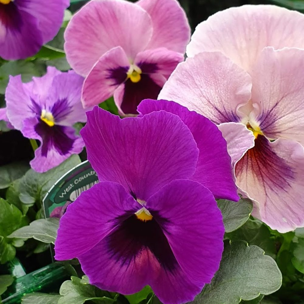 Lavender Surprise Pansy 6 Pack