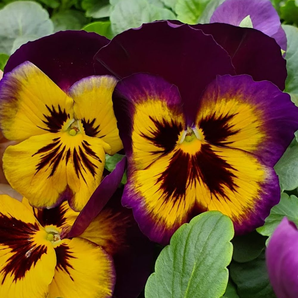 Midnight Sun Pansy 6 Pack