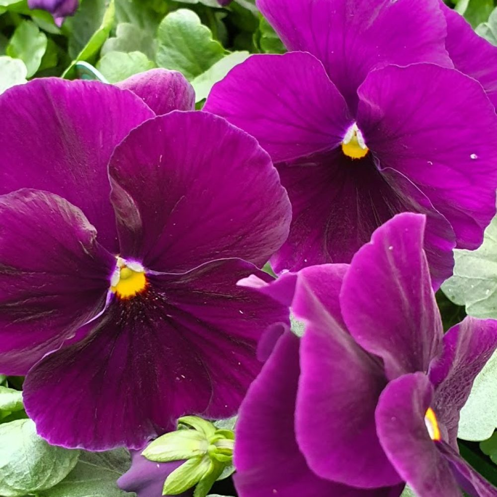 Pure Violet Pansy 6 Pack