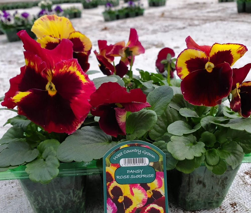 Rose Surprise Pansy 6 Pack
