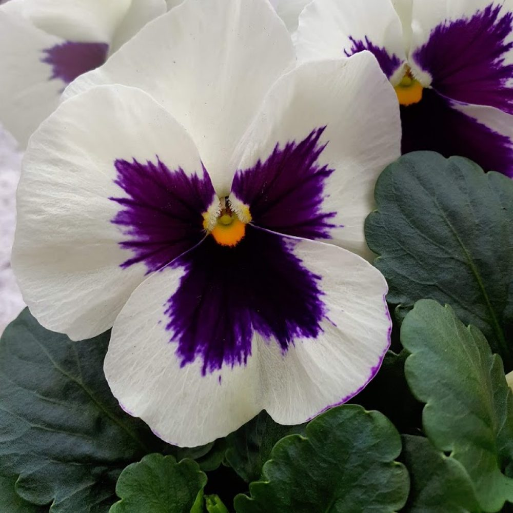 White Blotch Pansy 6 Pack