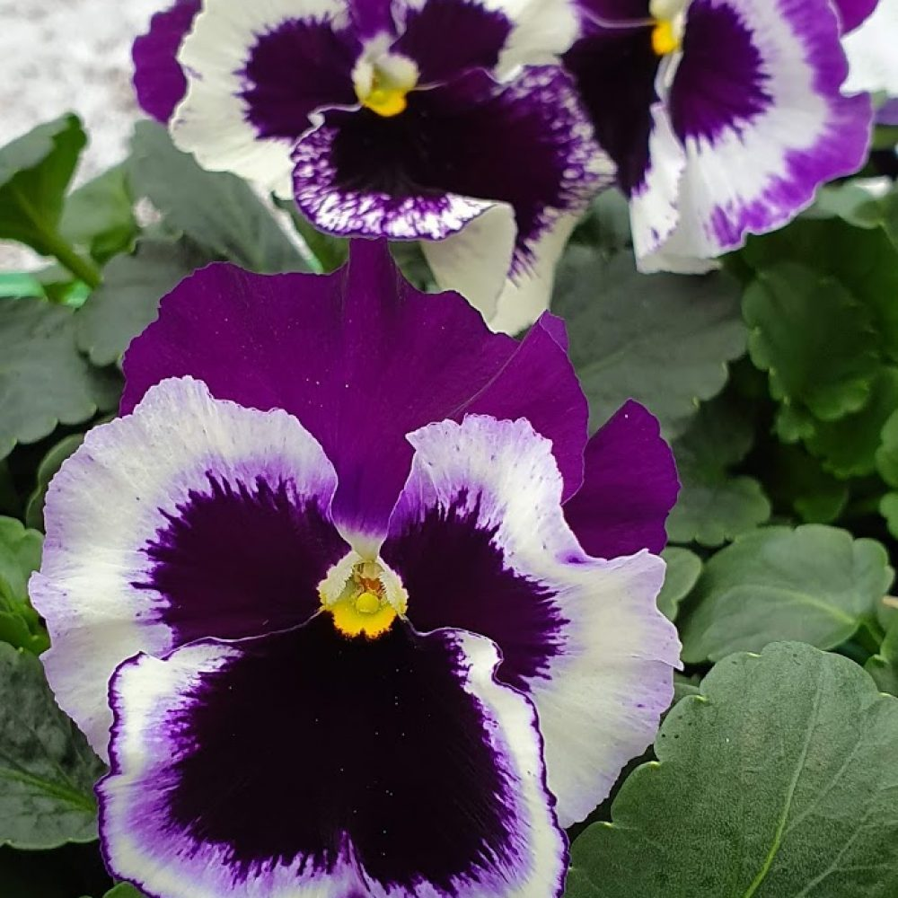 White with Purple Wing Pansy 6 Pack 3