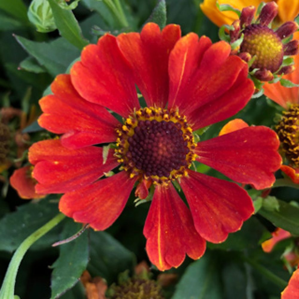 Helenium Orange